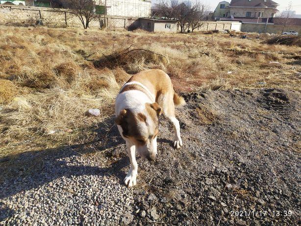 Собака казахская