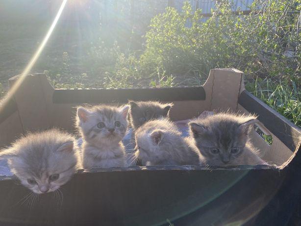 Продам породистых котят!!!