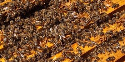 Пчелни отводки