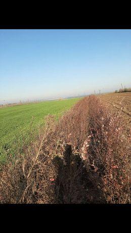 Dracilă (Berberis vulgaris)