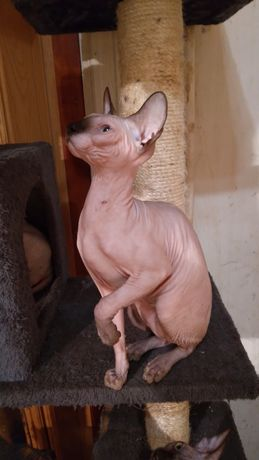 Pisica Sphynx (Sfinx) cu pedigree
