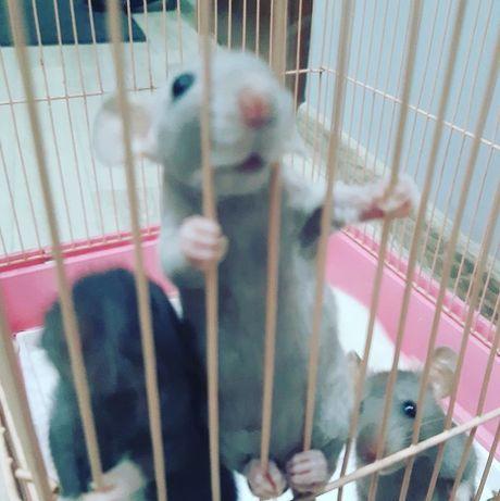 Крысята и мор, свинки