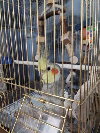 попугай корелла, мальчик