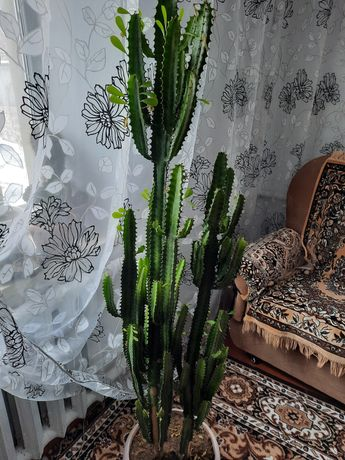 Цветок комнатный кактус,