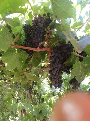 Виноград винный.