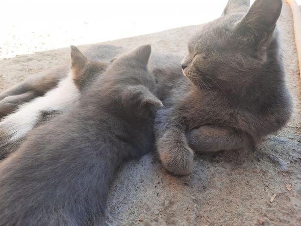 Кошки отдам бесплатно в добрые руки мать британка