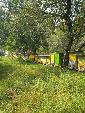 Stupi cu albine de vanzare