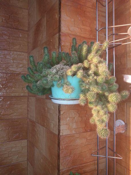 Продам цветок кактус