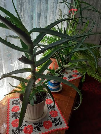 Planta Aloe Vera (5-6 ani)