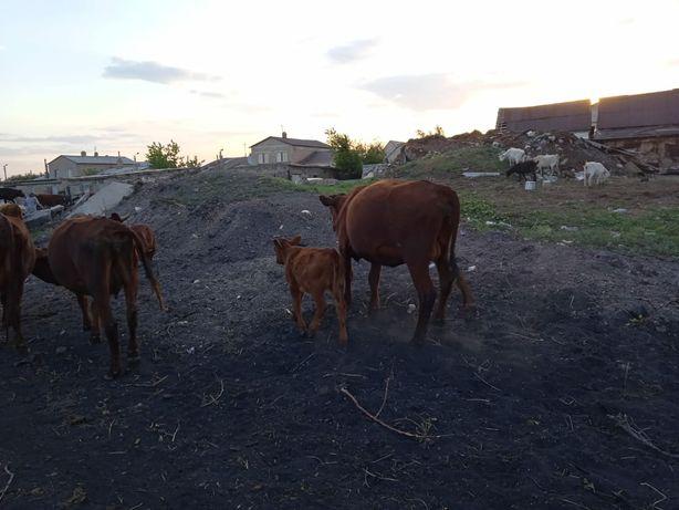 Корова и теленок продам