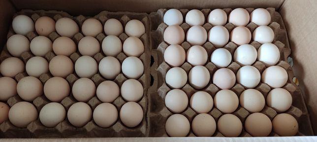 Инкубационное яйцо бройлера балапан бройлер цыплята