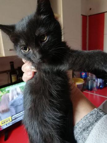 Donez pisicuta neagra