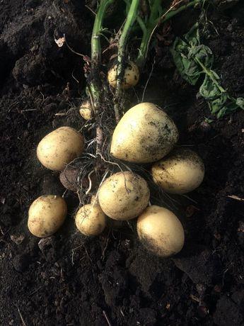Продам отборный картошка ведро 2500 т.