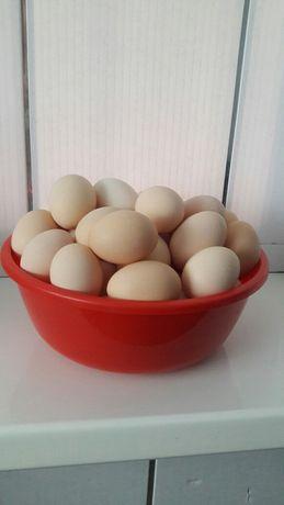Яйцо куриное. Домашнее