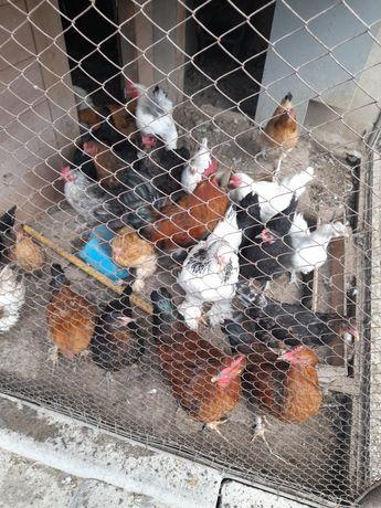 Продам откормленнных кур и петухов