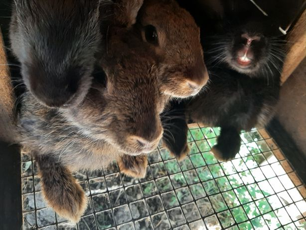 Кролики Фландр агути