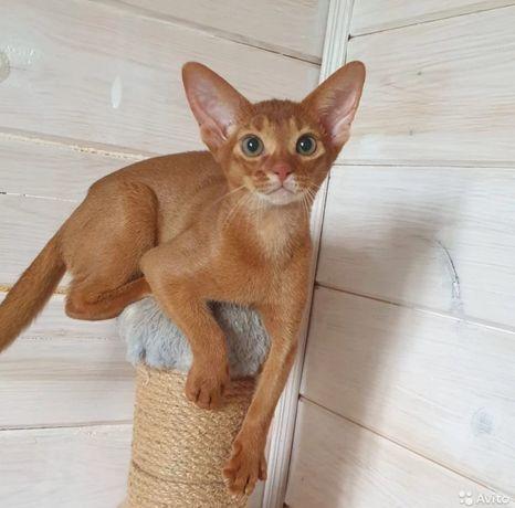 Подрощенные  аббиссинские котята  и  котенок Чаузи в разведение