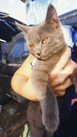 Отдам породистого котика в добрые руки