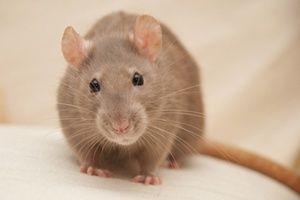 Крысы Дамбо в Аквапро