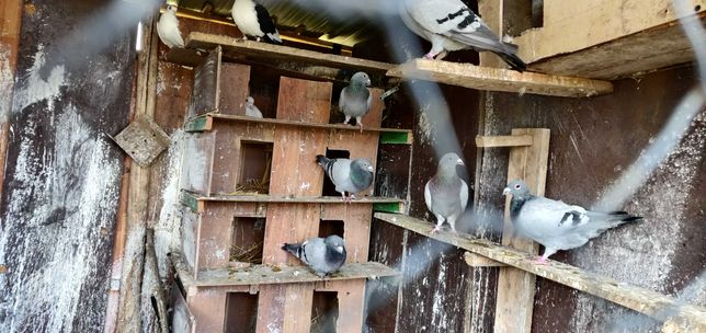 vând porumbei Voiajori