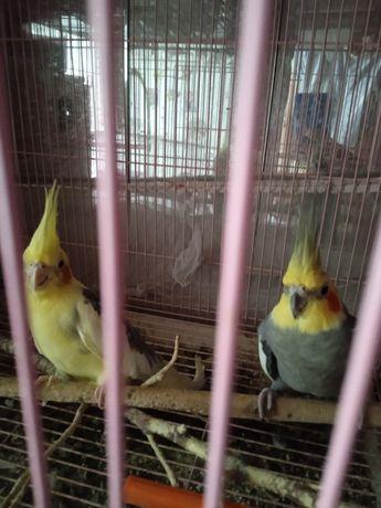 Рабочая пара попугаев