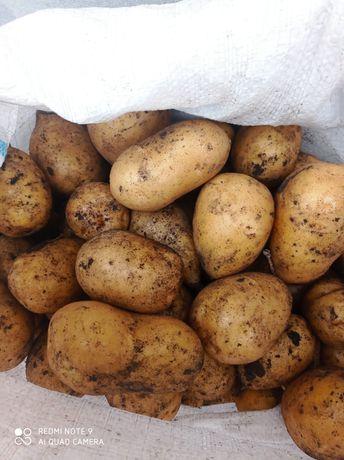 Картошка сорт гала