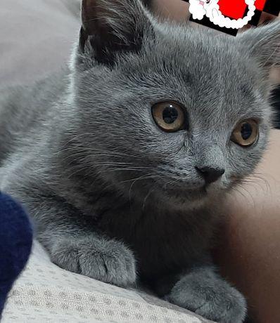 Породистый котенок - кошечка, 4 мес.  Шотландская. Скоттиш страйт
