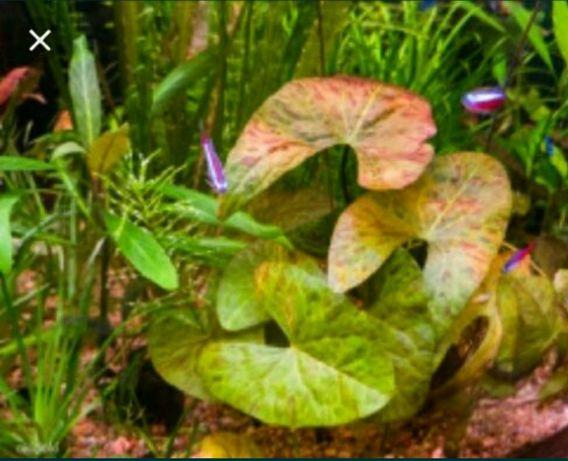 Аквариумное растение Нимфея карлик