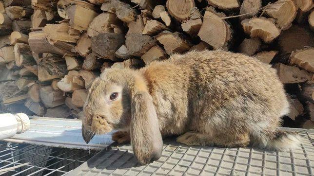 Кролики Французкие бараны