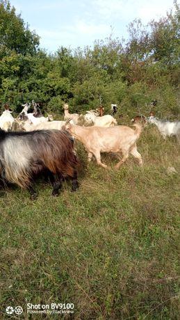 Vând lapte de capră și caș