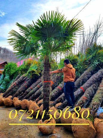 Palmier trachycarpus fortunei, Chamaerops, Phonix, Cycas, Washingtonia