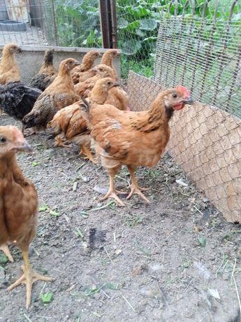 Кучинские цыплята петухи