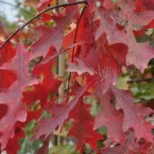 Vindem stejarui cu frunze rosii ,salcii crete si pletoase