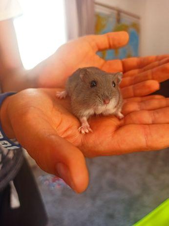 Hamster pui foarte bland