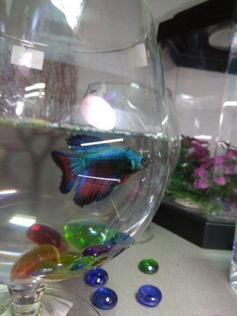 Рыбка Петушок. Навои Фрунзе