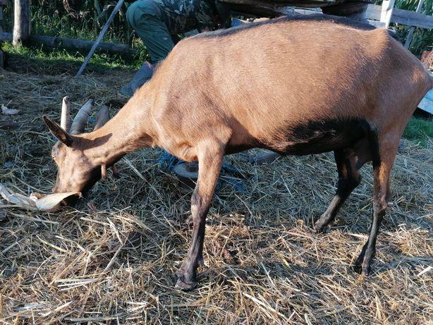 Vând capre și țapi
