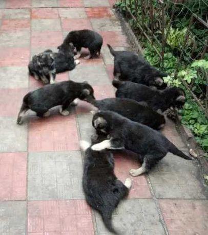 ДЁШЕВО Породистые щенки Восточноевропейской овчарки От Прекрасной Пары
