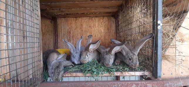 кролики, фландр, ризен, коян, заяц;)