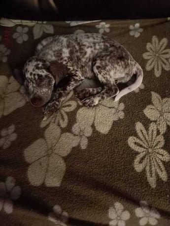Щенок далматина 1 девочка, родились 22 июля