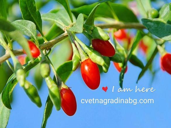 Годжи Бери - тибетска ягода