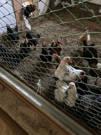 Продам домашних кур