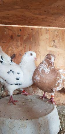 Porumbei jucători