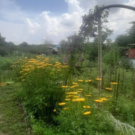 Продам садовые цветы. Многолетние