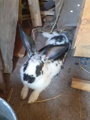 Кролик продам  позваните
