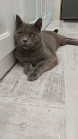 Pisica British Mascul