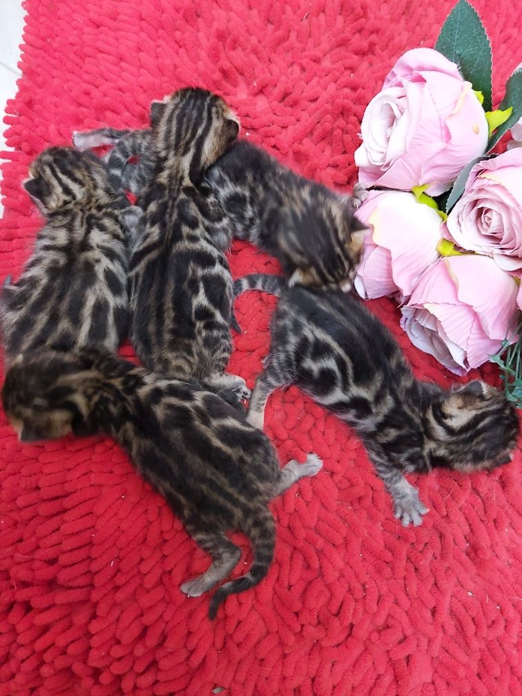 В продаже! Породистые Котята от Бенгалов