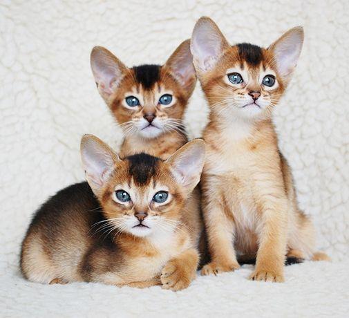 Подарок к 8 марта! Абиссинские котята дикого окраса с подарком!