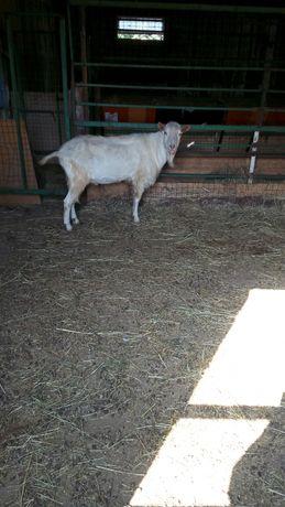 Заненские и Альпийские козы