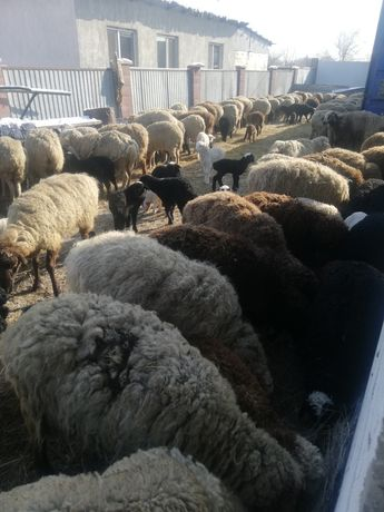 Овцы с ягнятами