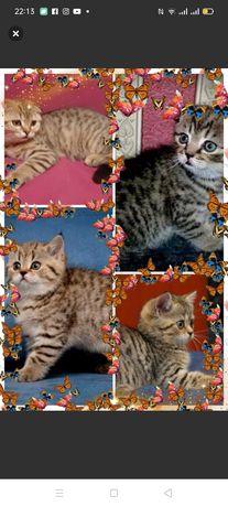 Распродажа породистых котят